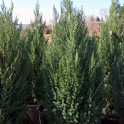 Juniperus ch. 'Blue Point'