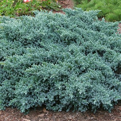 Juniperus sq. 'Blue Star'