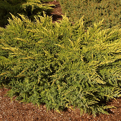 Juniperus chinensis 'Daub's Frosted'