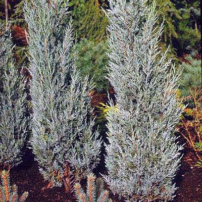 Juniperus sc. 'Moonglow'
