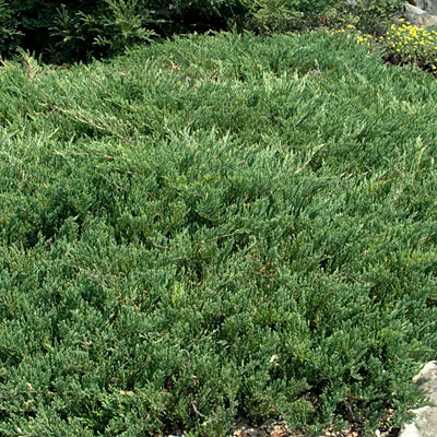 Juniperus horizontalis 'Youngstown'
