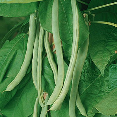 Seeds - Bean, Pole 'Kentucky Wonder'