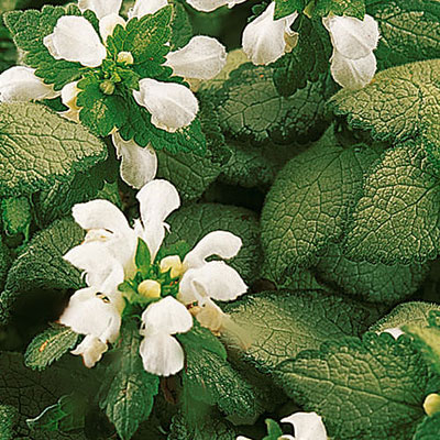 Lamium m. 'White Nancy'