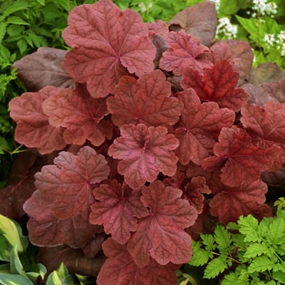 Heuchera x 'Lava Lamp'