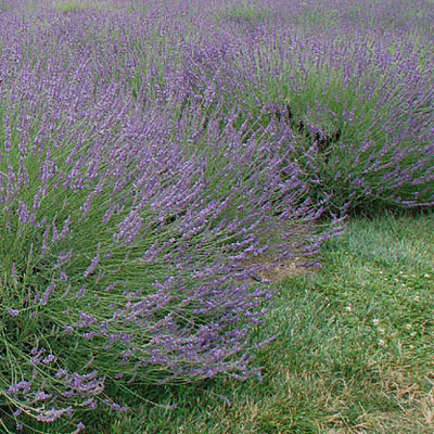 Lavandula x inter. 'Phenomenal'