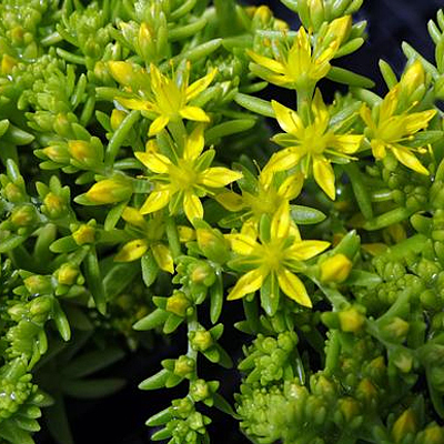 Sedum x 'Lemon Ball'