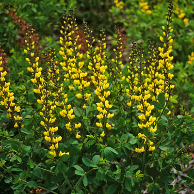 Baptisia x 'Lemon Meringue'