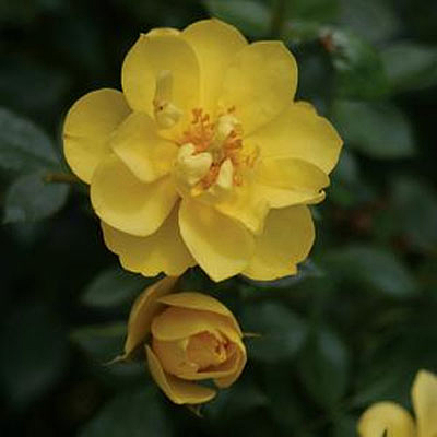 Rosa 'Oso Easy Lemon Zest'