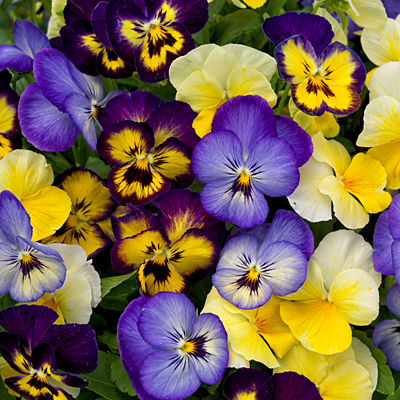 Viola 'ColorMax Lemonberry Pie Mix'