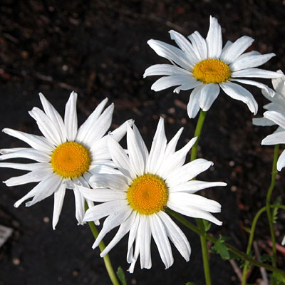Leucanthemum vulgaris 'May Queen'