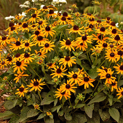 Rudbeckia f. 'Little Goldstar'