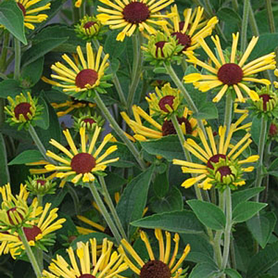 Rudbeckia s. 'Little Henry'