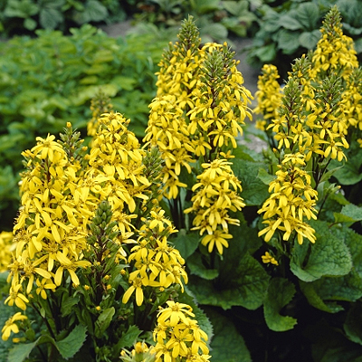 Ligularia x h. 'Little Lantern'