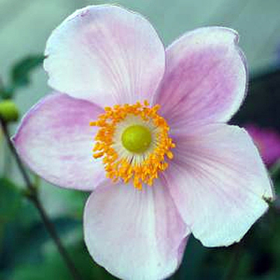 Anemone x japonica 'Little Princess'