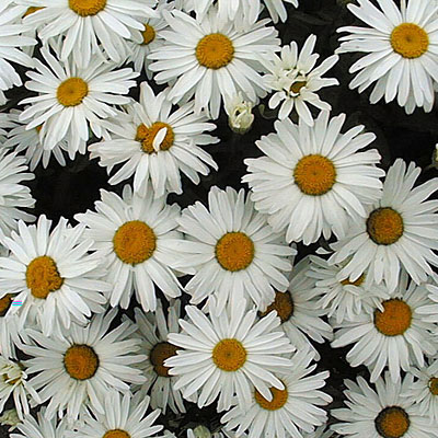 Leucanthemum x superbum 'Little Princess'