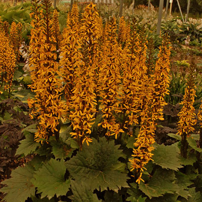 Ligularia stenocephala 'Little Rocket'