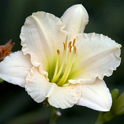 Hemerocallis 'Lullaby Baby'