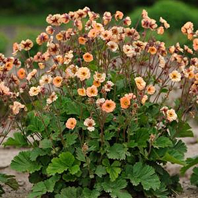 Geum x 'Cocktail Mai Tai'