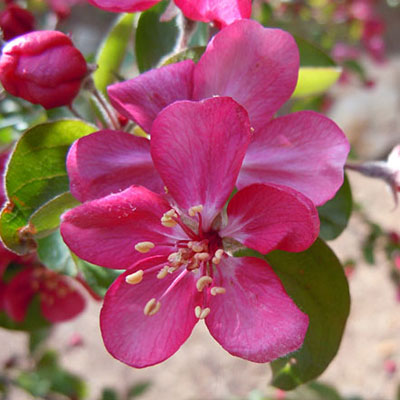 Malus 'Adams'