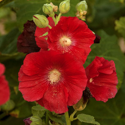 Alcea r. 'Mars Magic'