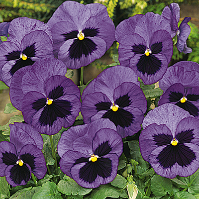 Pansy 'Matrix Ocean'