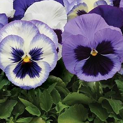 Pansy 'Matrix Ocean Breeze'