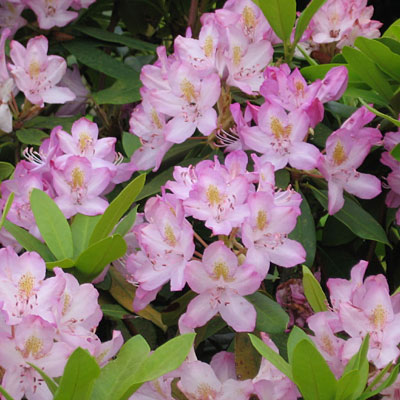 Rhododendron m. 'Roseum'