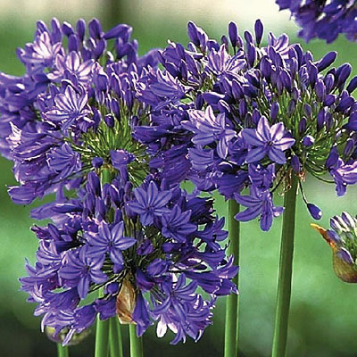 Agapanthus x 'Midknight Blue'