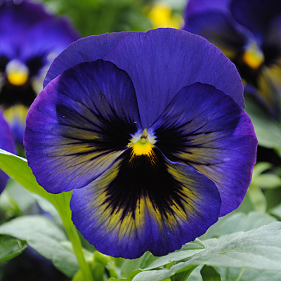 Pansy 'Matrix Midnight Glow'
