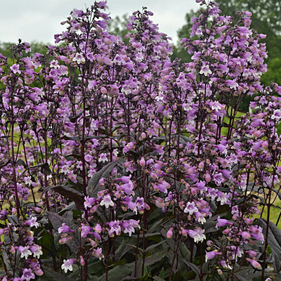 Penstemon digitalis 'Midnight Masquerade'