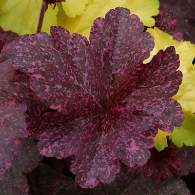 Heuchera x 'Midnight Rose'