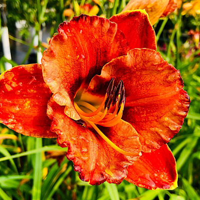 Hemerocallis 'Mighty Chestnut'