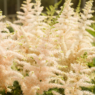 Astilbe c. 'Milk and Honey'