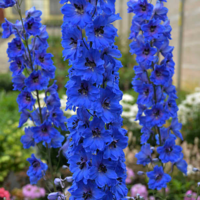 Delphinium elatum 'Million Dollar Blue'
