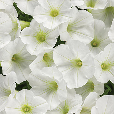 Petunia 'Supertunia Mini Vista White'