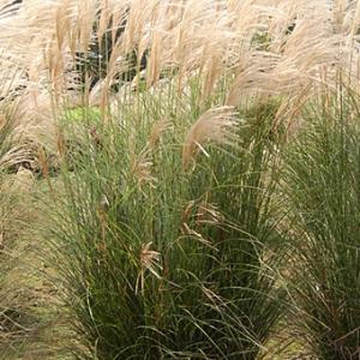 Miscanthus sinensis 'Scout'