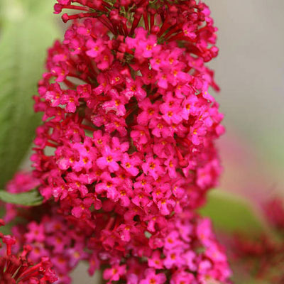 Buddleia x 'Miss Molly'