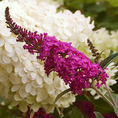 Buddleia x 'Miss Ruby'
