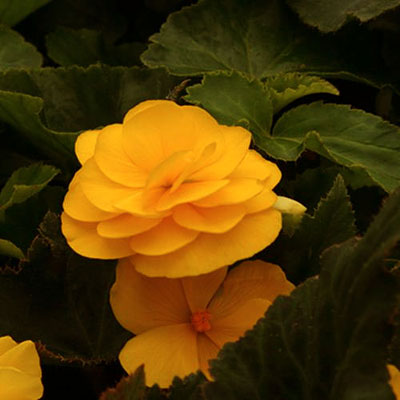 Begonia 'Nonstop Mocca Yellow'