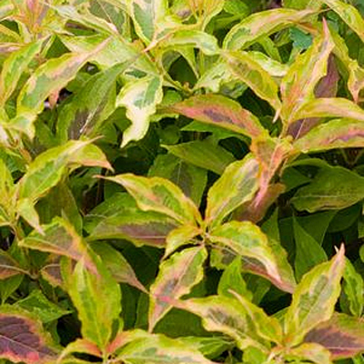 Weigela f. 'My Monet Sunset'