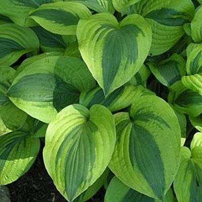 Hosta 'Moon Split'