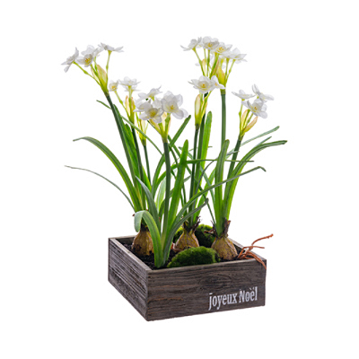 Narcissus in Wood Box