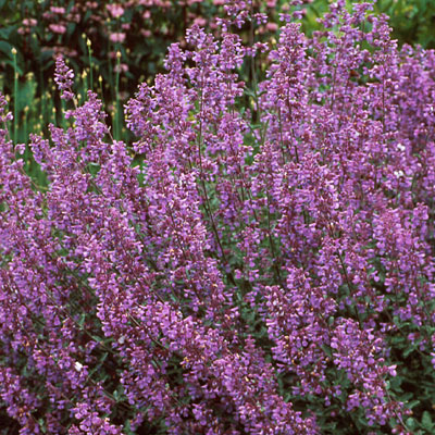 Nepeta x f. 'Walker's Low'