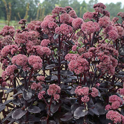 Sedum x 'Night Embers'