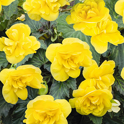 Begonia 'Nonstop Joy Yellow'