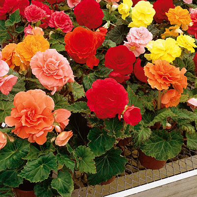Begonia 'Nonstop Mix'