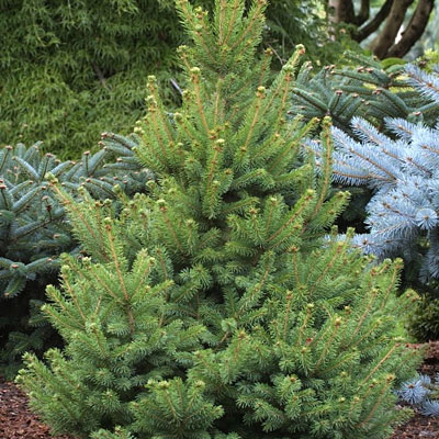 Picea g. 'North Star'