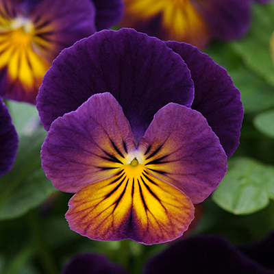 Viola x 'Northern Lights'