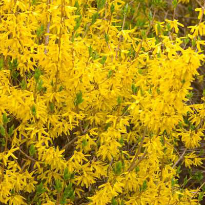 Forsythia x 'Northern Sun'