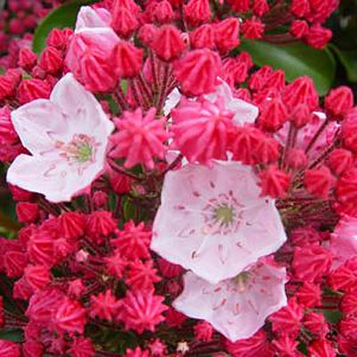 Kalmia l. 'Olympic Fire'
